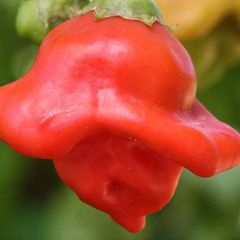 Foto: Peper 'Bishop's Crown'