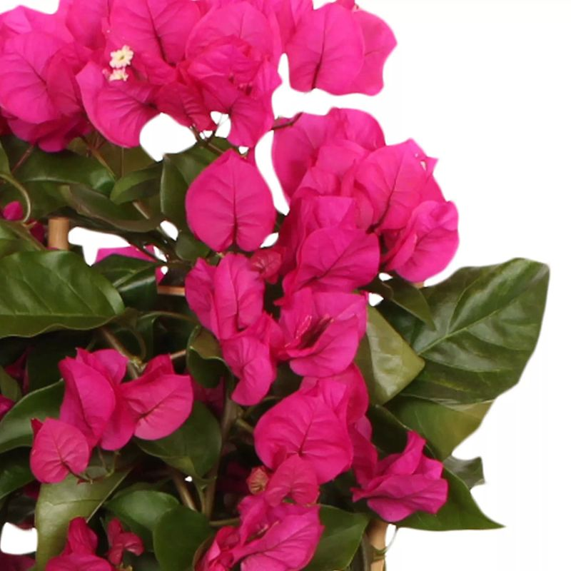 Foto: Bougainville 'Vera Deep Purple'