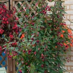 Foto: Fuchsia 'Lady Boothby'