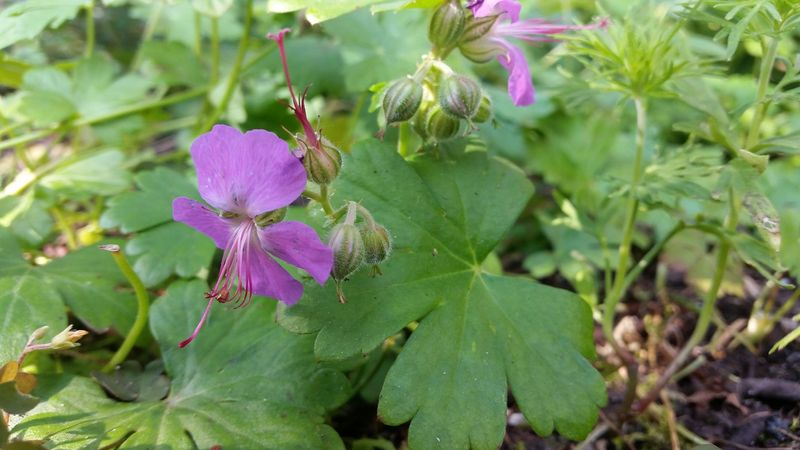 Foto: Ooievaarsbek 'Cambridge'