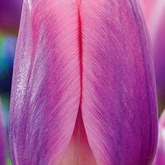 Foto: Tulp 'Light and Dreamy'