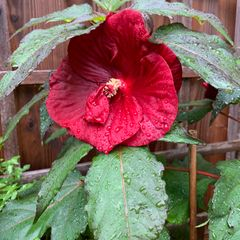 Foto: Hibiscus 'Carousel Géant Red'