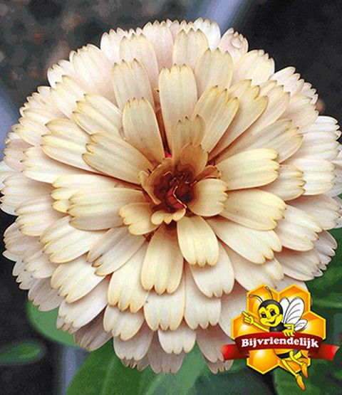 Foto: Goudsbloem 'Winter Wonders Banana Blizzard'