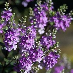Foto: Struikveronica 'Garden Beauty Purple'