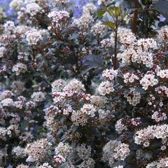 Foto: Blaasspirea 'Little Joker'