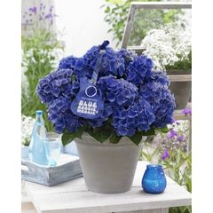 Foto: Hortensia 'Music Collection Blue Boogiewoogie'