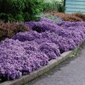 Foto: Aster 'Wood's Blue'