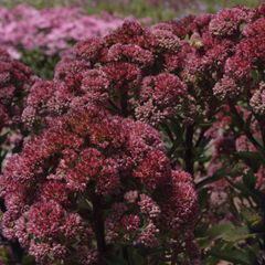 Foto: Hemelsleutel 'Munstead Dark Red'