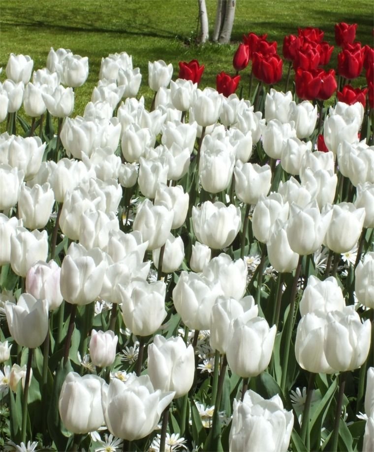 Foto: Tulp 'White Marvel'