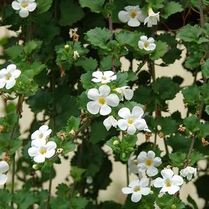 Foto: Bacopa 'Snowstorm Giant Snowflake'