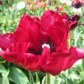 Foto: Tulp 'Red Parrot'
