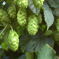 Foto: Hop 'Northern Brewer'