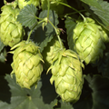 Foto: Hop  'Hallertau Northern Brewer'