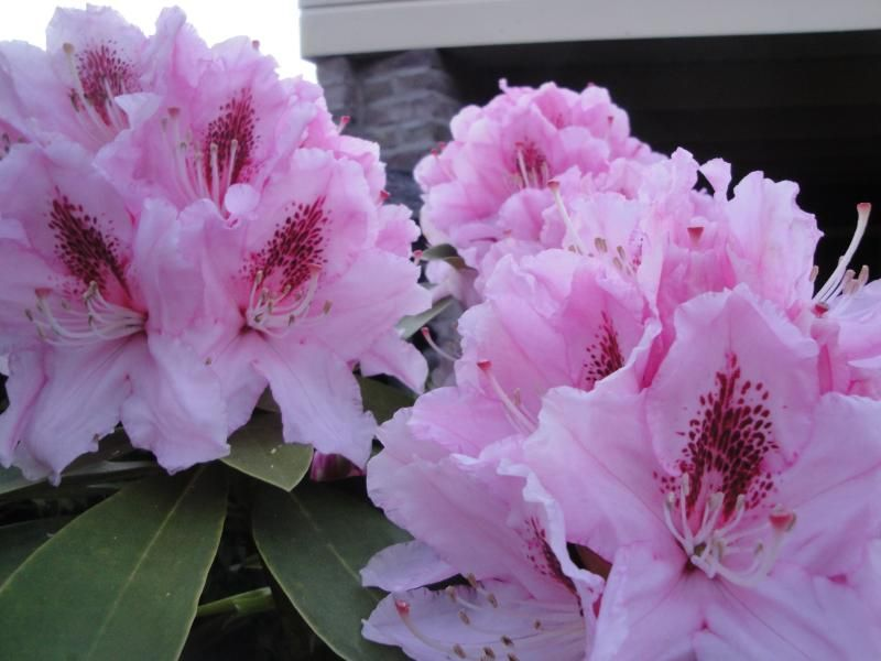Foto: Rododendron 'Pink Pearl'