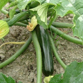 Foto: Courgette 'All Green Bush'