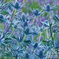 Foto: Kruisdistel 'Big Blue'