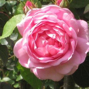 Foto: Roos 'Constance Spry'