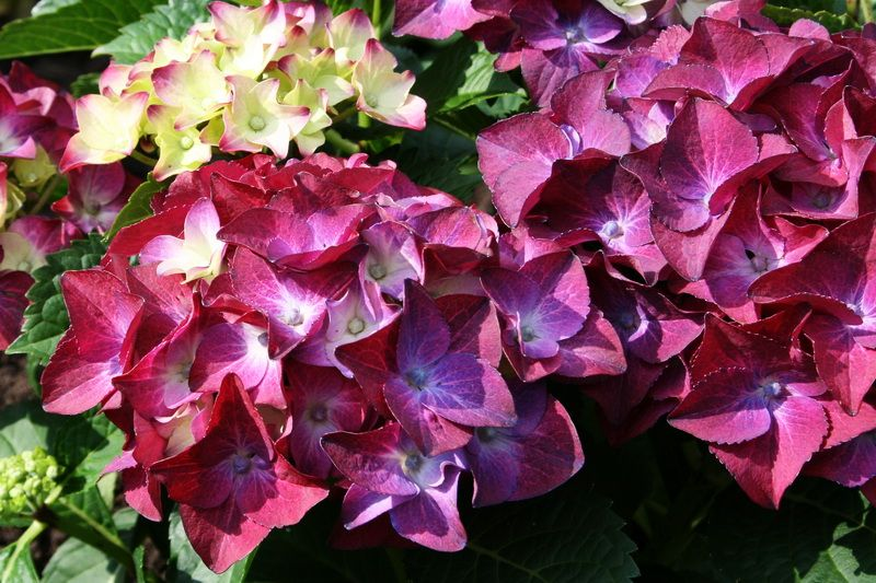 Foto: Hortensia 'Hot Red Purple'