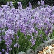 Foto: Lavendel 'Little Lady'