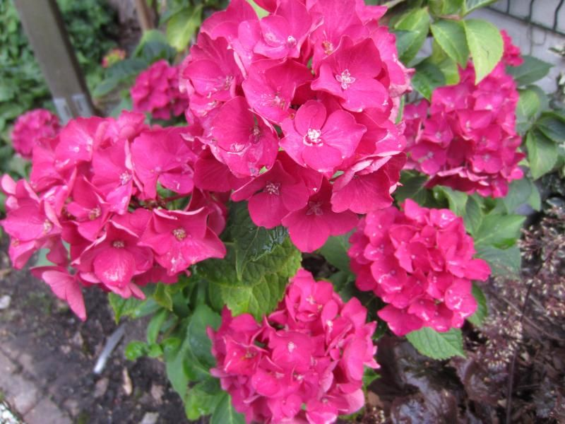 Foto: Hortensia 'Red Beauty'