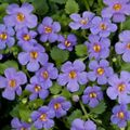 Foto: Bacopa 'Scopia Great Blue Lake'