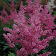 Foto: Pluimspirea 'Younique Lilac'
