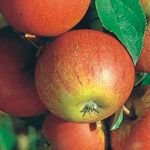 Foto: Appel 'Elstar' + 'Cox Orange Pippin' + 'Golden Delicious'