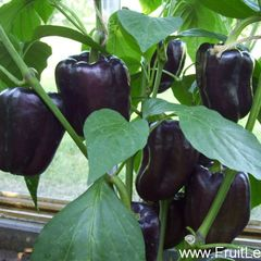 Foto: Paprika 'Purple beauty'