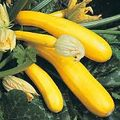 Foto: Courgette 'Gold Rush'