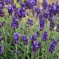 Foto: Lavendel 'Lavance Purple'