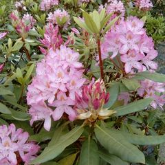 Foto: Rododendron 'Roseum'