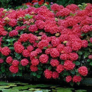 Foto: Hortensia 'Royal Red'