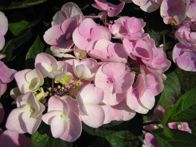 Foto: Hortensia 'Sweet Dreams'