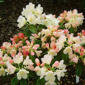 Foto: Rododendron 'Golden Torch'
