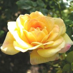 Foto: Roos 'The fairy Yellow'
