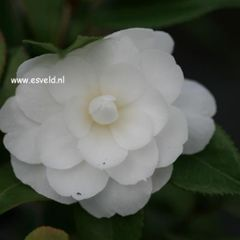 Foto: Camellia 'Early Pearly'