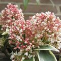 Foto: Skimmia 'Magic marlot'
