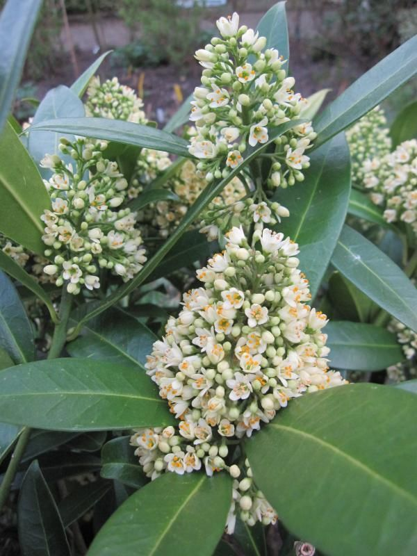 Foto: Skimmia 'Fragrant Cloud'