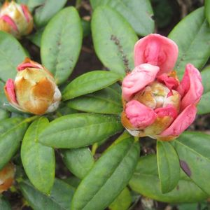Foto: Rododendron 'Dusty Miller'