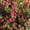 Foto: Druifheide 'Curly Red'
