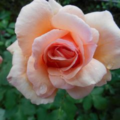 Foto: Roos 'Apricot Nectar'