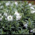 Foto: Struikveronica 'White Lady'