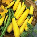 Foto: Courgette 'Early Prolific Straightneck'