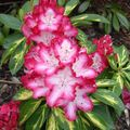 Foto: Rododendron 'President Roosevelt'