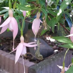 Foto: Fuchsia 'Mrs. W.P. Wood'