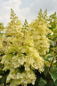 Foto: Hortensia 'Candlelight'
