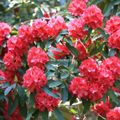 Foto: Rododendron 'Wilgen's Ruby'