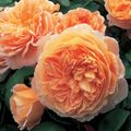 Foto: Roos 'Crown Princess Margareta'