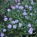 Foto: Aster 'Lady in Blue'