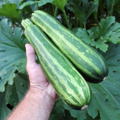 Foto: Courgette 'Green tiger'